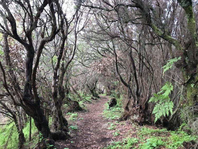Lorbeerwald am Roque Niquiomo